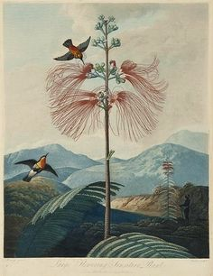 stilllifequickheart:  Robert John Thornton Large Flowering Sensitive Plant 19th century