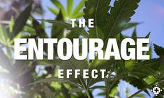 Medical Marijuana: Much More Than Just THC and CBD - GEAR International www.gear.international $GEAR #gearotc @gearotc #cannaworxinc @cannaworxinc