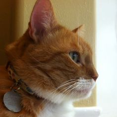 Orange, Cats, Animals, Gatos, Animales, Animaux, Kitty, Cat, Cats And Kittens