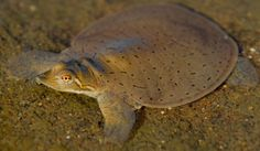 Red and the Peanut: More Midland Smooth Softshell turtle photos...