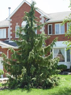 Weeping Nootka Cypress high, wide) A striking tall growing evergreen with unusual pendulous branches. Full sun to light shade. Canadale Nurseries Ltd. Evergreen Garden, Evergreen Trees, Garden Trees, Trees And Shrubs, Trees To Plant, Trees For Front Yard, Landscape Curbing, Baumgarten, Privacy Plants