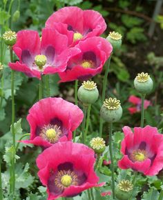 Opium Poppy - Papaver Somniferum...I grow these in my yard!  :) Got the seeds from a garden across the yard from my Gramma Nelson years ago.