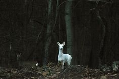 The albino deer. In Scotland and most likely other parts of GB, the albino deer is like a mythical creature and it symbolizes hope and determination of the scots. to see one means that something spectacular is going to happen to the great country. Foto Fantasy, 3d Fantasy, Beautiful Creatures, Animals Beautiful, Cute Animals, Elf Rogue, Solas Dragon Age, Half Elf, She Wolf