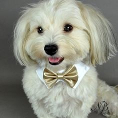 Taupe Satin Dog Bow Tie & White Collar | Neiman Barkus Couture - Tiny thru Large Dog Sizes.  Made in the USA.  Order Yours Today!