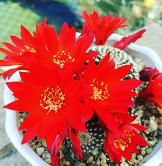 Cactus of the Day. Close up of flowers on Rebutia Krainziana. A must for any collection. From the Alegria Cactus Collection. Enjoy #droughttolerant #waterwisegardening #cactusclub #cactusmagazine #cactus#cactusmagazine #cactusoftheday #cactusjon #cactuslover #cactusobsessed #cactusflower #cactusinbloom #blooming #cactuscrazy #cactushoarder # by cactus_jon #waterwise #waterwisegardening #drought #droughttolerant