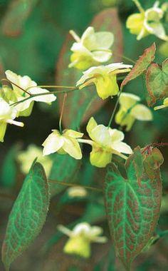 Damit dem Elfenglück im Garten nichts im Wege steht, ist ein Rückschnitt der Elfenblume im Frühjahr notwendig. Das sollten Sie dabei beachten.
