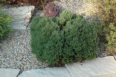 Find Teddy Arborvitae (Thuja occidentalis 'Teddy') in Burlington Waterdown Dundas Ontario Ontario ON at Connon Nurseries (Eastern White Cedar) Dundas Ontario, Thuja Occidentalis, White Cedar, Evergreen Shrubs, Sidewalk, Nursery, Landscape, Plants, Outdoor