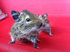 #love #sweet #degu #degus #animals #animal #tier #tiere