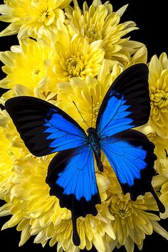Blue Butterfly On Poms Photograph  - Blue Butterfly On Poms Fine Art Print