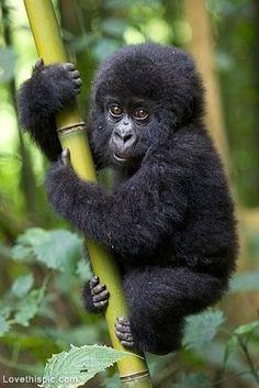 Resultado de imagem para filhote de gorila