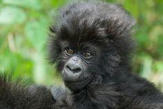AAC president Kent Redding had the privilege of naming this beautiful gorilla at this year's Kwita Izina gorilla naming ceremony in #Rwanda!