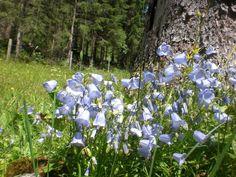 Kleine Glockenblume (Campanula cochlearifolia) #Kleinwalsertal #Mittelberg.