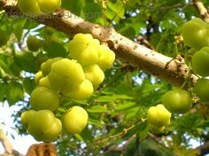 indian fruits - Google Search