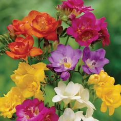 Freesia Crown Jewels Mixed Another Floral Rainbow Love the scent of these flowers. Amazing Flowers, Beautiful Flowers, Beautiful Gorgeous, Biennial Plants, Freesia Flowers, Bloom, Garden Plants, Pot Plants, Garden Seeds