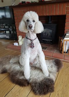Maggie Nash's poodle does a great job of modelling her latest sheepskin purchase - one of our Dutch Silkies! Maggie admits that she's probably lost this fleece to the dog though, so may need to buy another for herself! Poodle, Dutch, Fans, Lost, Animals, Animales, Dutch Language, Animaux, Poodles