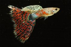 Image detail for -Most Popular Guppy Fish Pictures #2 | Exotic Tropical Ornamental Fish ...