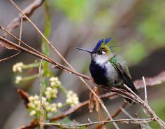 beija-flor-de-topete -   Stephanoxis lalandi (Vieillot, 1818) --{ Birds }--