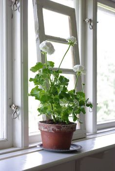 pelargonium - such a homely plant ...