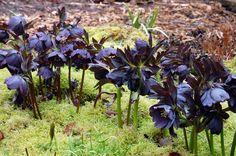 Spectacular paring...Black Diamond growing through Moss