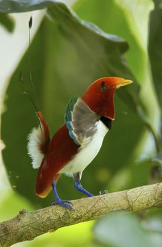 The King Bird Of Paradise, Cicinnurus Regius, is a small, approximately 16 cm long, Passerine bird of the Paradisaeidae family. The male is a crimson and white with bright blue feet and green-tipped fan-like plumes on its shoulder. The two elongated tail wires are decorated with emerald green disk feathers on its tip. It lives in the lowland forests of New Guinea and nearby islands.