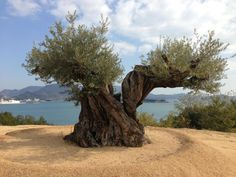 Olive tree in Japan, Shodoshima island