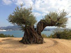 Olive tree in Japan, Shodoshima island