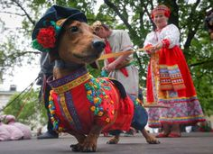 A woman walks with her dachshund dressed in a Russian folk costume, during a dachshund parade in St.... - Dmitri Lovetsky/AP Images