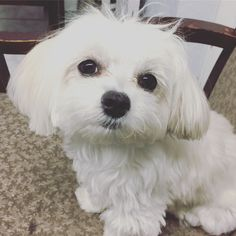 Lola the lovely Maltese puppy