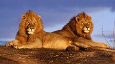 African Lions in Kenya's Masai Mara