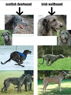 scottish deerhound VS irish wolfhound                                                                                                                                                                                 More
