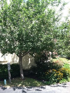 Tree #2 descended from an original Johnny Appleseed tree. Planted in 2000 as a sapling outside of the SF office.