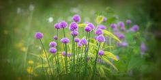 Chives flowers | Flickr - Photo Sharing!