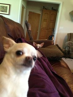 Chihuahua photobomb!