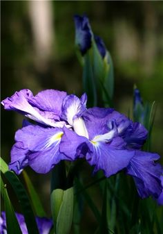 Japanese Iris, Iris Gardens, Sumter,SC