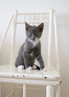 cute little grey cat