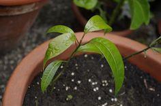 """Mango """"Keitt"""" - vom Kern zur Pflanze"""