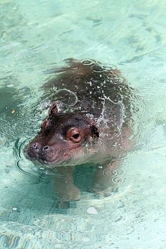 Cute little baby hippo!