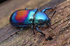 Darkling Beetle (Amarygmus sp)