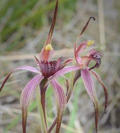 Tailed-Spider Orchid: Caladenia caudata