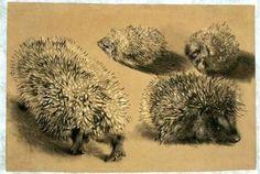 Four views of a hedgehog, Adolf von Menzel.