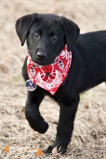 Dirt Road Photography: Labrador, black lab, puppy