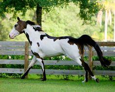Paint mare Dark Eyed Treasure. photo: Cheri Prill.