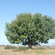 Carrubo pianta - carrubo