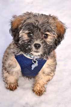 Havapoo puppies for sale in PA | Havapoo Puppy Adoptions