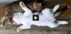 Cat tries to wake up its friend.    #cvotw