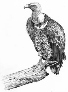 White-backed vulture Gyps africanus. 6B graphite pencil. 175mm x 185mm. 1 of 5 drawings used on the educational wall in the public shelter at the new (2010) vulture enclosure in Rotterdam Zoo. Bees...