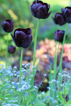 Tulips Queen of the Night (single late tulip) is a stunning dark purple tulip which almost appears black.Queen of the Night (single late tulip) is a stunning dark purple tulip which almost appears black. Black Tulips, Purple Tulips, Black Flowers, Spring Flowers, Beautiful Flowers, Colorful Flowers, Dream Garden, Garden Inspiration, Beautiful Gardens