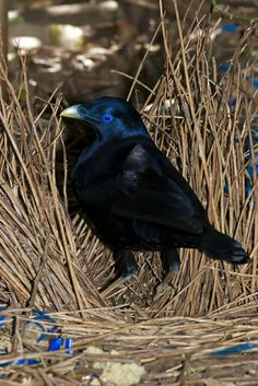 Satin Bower Bird, Ptilonorhynchus violaceus, Australia | Flickr - Photo Sharing! Love how he collects blue objects!