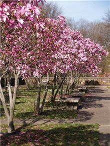 JANE MAGNOLIA TREE: This is the tree outside my office. I thought it was a tulip tree, but it is not! It is a pink magnolia tree sometimes called a Jane Magnolia. It is absolutely lovely and thrives in our Texas climate.