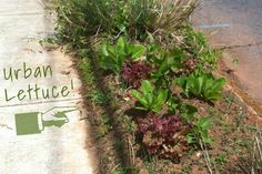 """""""I was out walking the dog earlier this week when I spotted this awesome mini guerrilla garden in my neighborhood here in Atlanta. Some savvy gardener dug up the useless grass that lines the curb on the rest of this street and planted food instead. Could you imagine the difference it would make if all those miles and miles of curb grew food instead of grass and ground cover?"""""""